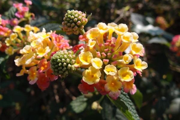 三芝櫻花季:【新北三芝】賞櫻季節又到囉!三芝的櫻花也開了不少,超美!